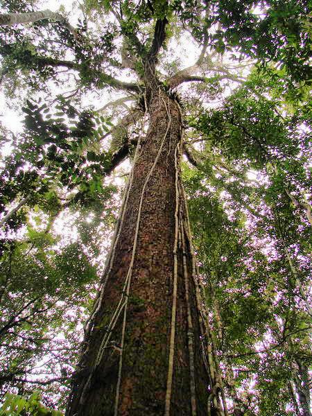 Riesenbaum Regenwald